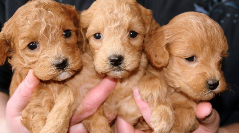 puppies-688425