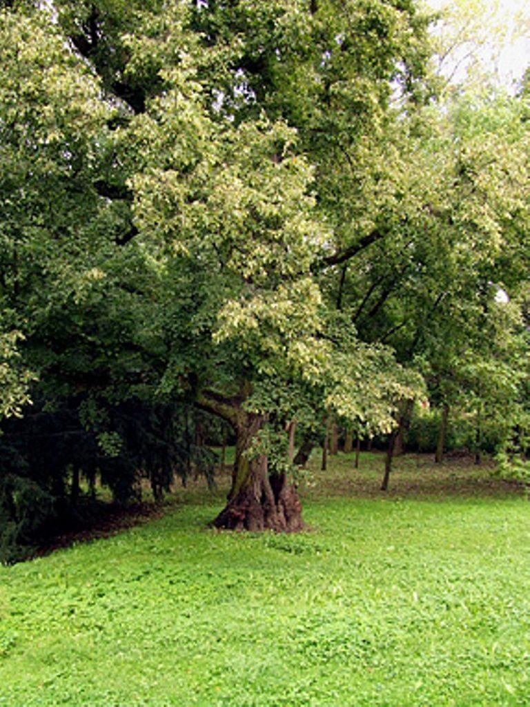 Lipa drobnolistna Maria - pomnik przyrody