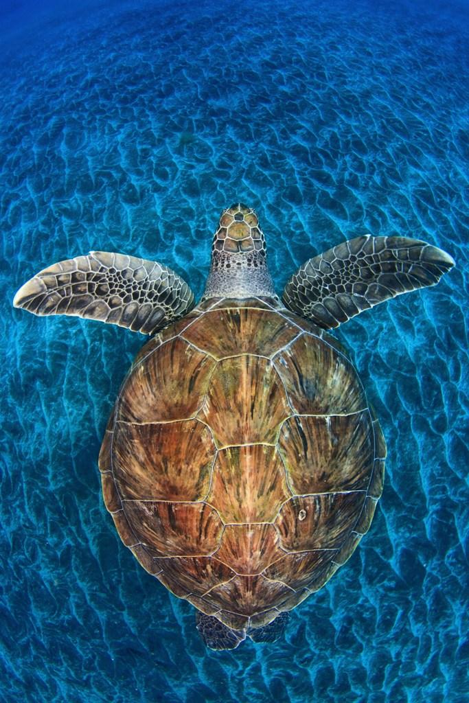 Żółwi klejnot - Jordi Chias (Hiszpania)