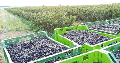 Ceny owoców w skupie rażąco niskie
