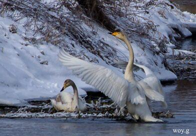 Ptaki ostrowieckiej rzeki